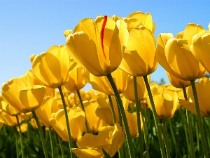 Tulips_1578463079.jpg
